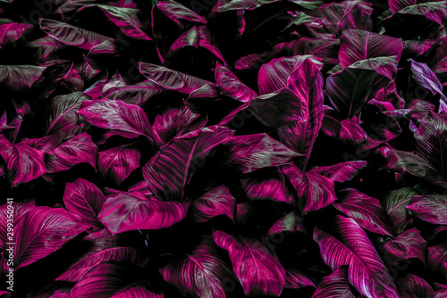 Spathiphyllum cannifolium leaf concept, dark green abstract texture, natural background, tropical leaves in Asia and Thailand #299350941