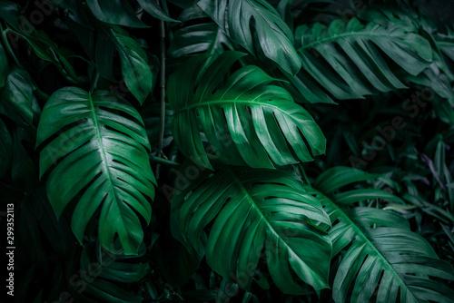 Fotografía  tropical leaves, dark green foliage in jungle, nature background