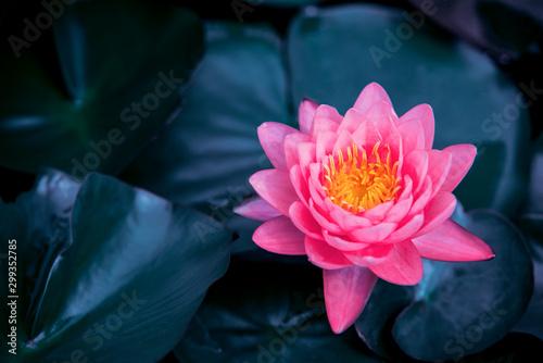 Fond de hotte en verre imprimé Fleur de lotus Beautiful lotus leaf near the pond, pure natural background, red lotus, lotus flower on the water surface and dark green watery leaves.