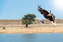 Adler Jagt Eine Taube. Der Adler Breitet Seine Schwingen Aus Und öffnet Seine Krallen, Um Die Taube Zu Greifen.