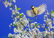 beautiful bird titl fly in in the spring garden by the branches of a cherry blossoming with white buds spreading its wings