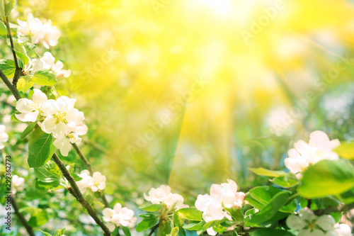 Border from apple tree blossom with sun lights. Spring background. Copy space - 299362773