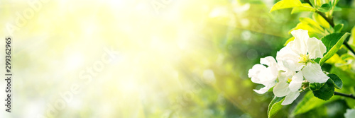 Obraz Web banner 3:1. Border from apple tree blossom with sun lights. Spring background. Copy space - fototapety do salonu