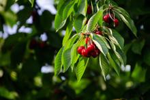 Cherry Tree In The Sunshine - ...