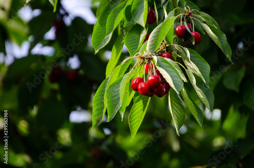 Fototapeta Cherry tree in the sunshine - sick cherry tree - moldy fruits on the tree