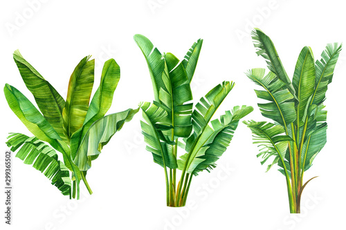 ungle botanical watercolor illustrations, tropical palm leaves, banana palm on a Canvas Print