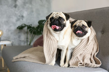 Two Funny Dreamy Pugs With Sad...