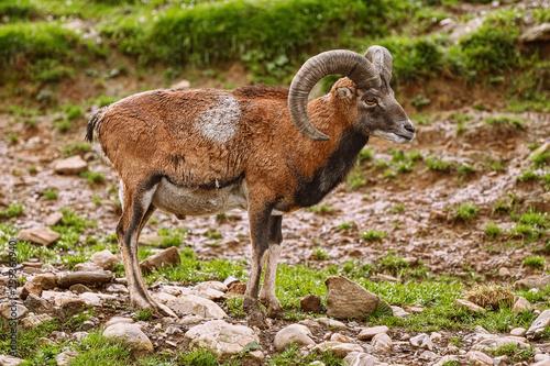 Fotografia, Obraz Big Brown Ram