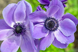 Beautiful violet blue black ornamental anemone coronaria de caen in bloom, bright colorful flowering springtime plant