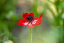 Beautiful Red White Black Ornamental Anemone Coronaria De Caen In Bloom, Bright Colorful Flowering Springtime Plant