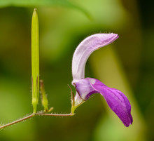 Violet Flower And Seed Pod