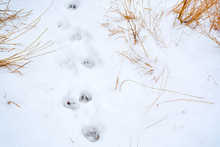 Animal Tracks In Fresh Snow