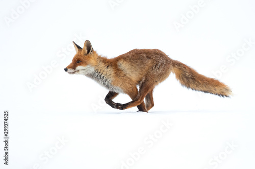 The red fox (Vulpes vulpes) is the largest of the true foxes and one of the most Canvas Print