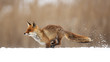 canvas print picture - The red fox (Vulpes vulpes) is the largest of the true foxes and one of the most widely distributed members of the order Carnivora
