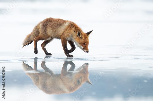 Fotografía The red fox (Vulpes vulpes) is the largest of the true foxes and one of the most