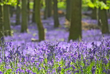 Blue Bell Woods Near Ivinghoe Beacon In Hertfordshire, England, During Spring.