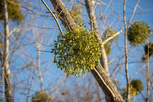 Fototapeta Mistletoe on the tree