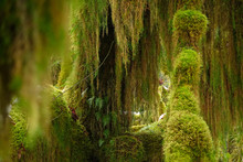 CLOSE UP: Scenic Shot Of The Hoh Rainforest In The Temperate Pacific Northwest.