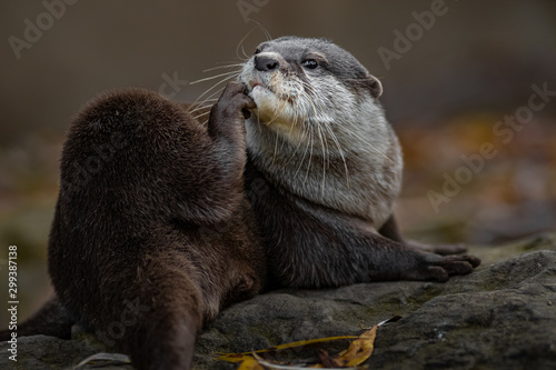 Asian small-clawed otter Tablou Canvas