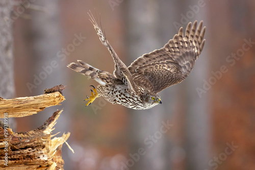 Photo Northern goshawk (Accipiter gentilis) is a medium-large raptor in the family Accipitridae, which also includes other extant diurnal raptors, such as eagles, buzzards and harriers