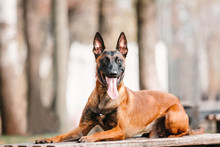 Belgian Shepherd Dog (Malinois...