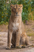 Young Reaches Out And Stands Up. Lioness Is A Large Predatory Strong And Beautiful African Cat.