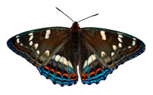 Butterfly Poplar Admiral (Lime...