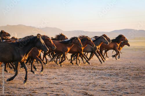 Fototapeta Yilki horses running in field at sunset, Kayseri, Turkey obraz