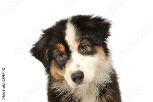 Fototapeta Portrait of an adorable Australian shepherd puppy obraz na płótnie