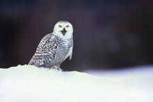 Snowy Owl (Bubo Scandiacus) Is...