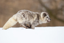Arctic Fox (Vulpes Lagopus), Also Known As The White Fox, Polar Fox Is A Small Fox Native To The Arctic Regions Of The Northern Hemisphere