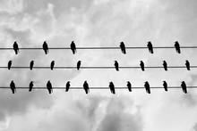 Gathering Of Black Crows