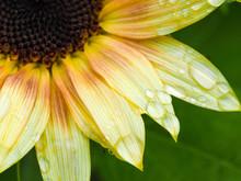 Macro Of Light Yellow Sunflowe...