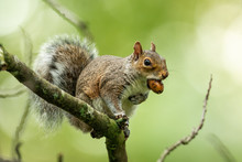 Grey Squirrel In The Natural E...
