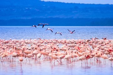 Fototapeta Rzeki i Jeziora Pink flamingos. Flock of flamingos at a watering hole. Landscapes with animals in Kenya. African flamingos stand in Lake Nakuru. Safari with animals. Wildlife Tourism in Africa. Animal world