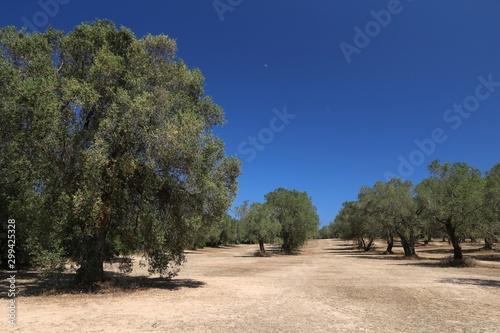 Obraz na płótnie Italy olive grove