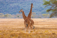 Giraffes African Savannah. Kenya. Concept -a Family Of Giraffes. Guided Tours Of Kenya Nature Reserves. Giraffes Are Looking Into The Distance. Ecological Tourism. Animals. Concept -untouched Nature