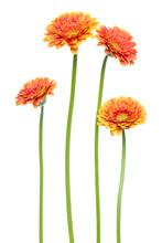 Vertical Orange Gerbera Flower...