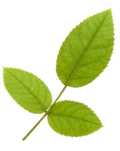 Green Rose Leaf Isolated Over White Background Cutout .