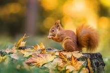 Cute Red Squirrel With Fluffy ...