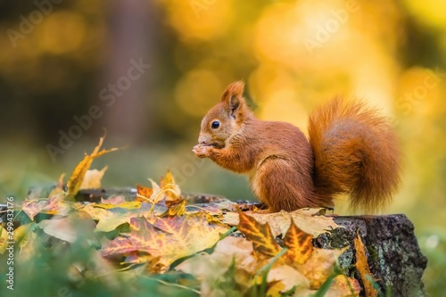 In de dag Eekhoorn Cute red squirrel with fluffy tail sitting on a tree stump covered with colorful leaves feeding on seeds. Sunny autumn day in a deep forest. Blurry yellow and brown background.
