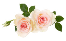 Two Pink Roses Isolated On Whi...
