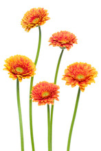 Vertical Orange Gerbera Flower...