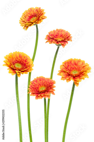 Vertical orange gerbera flowers with long stem isolated on white background. Spring bouquet.