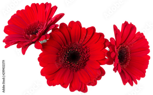 Three red gerbera flower heads isolated on white background closeup. Gerbera in air, without shadow. Top view, flat lay.