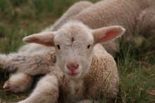 Lamb Looking At The Camera