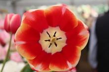 Tulip Red Centre Close Up Macro