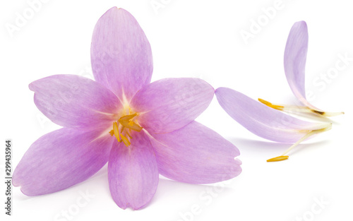 Photo sur Toile Lilac lilac crocus flowers isolated on white background