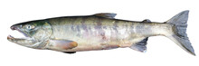 Chum Salmon Oncorhynchus Keta ...