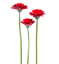 Three Vertical Red Gerbera Flowers With Long Stem Isolated On White Background